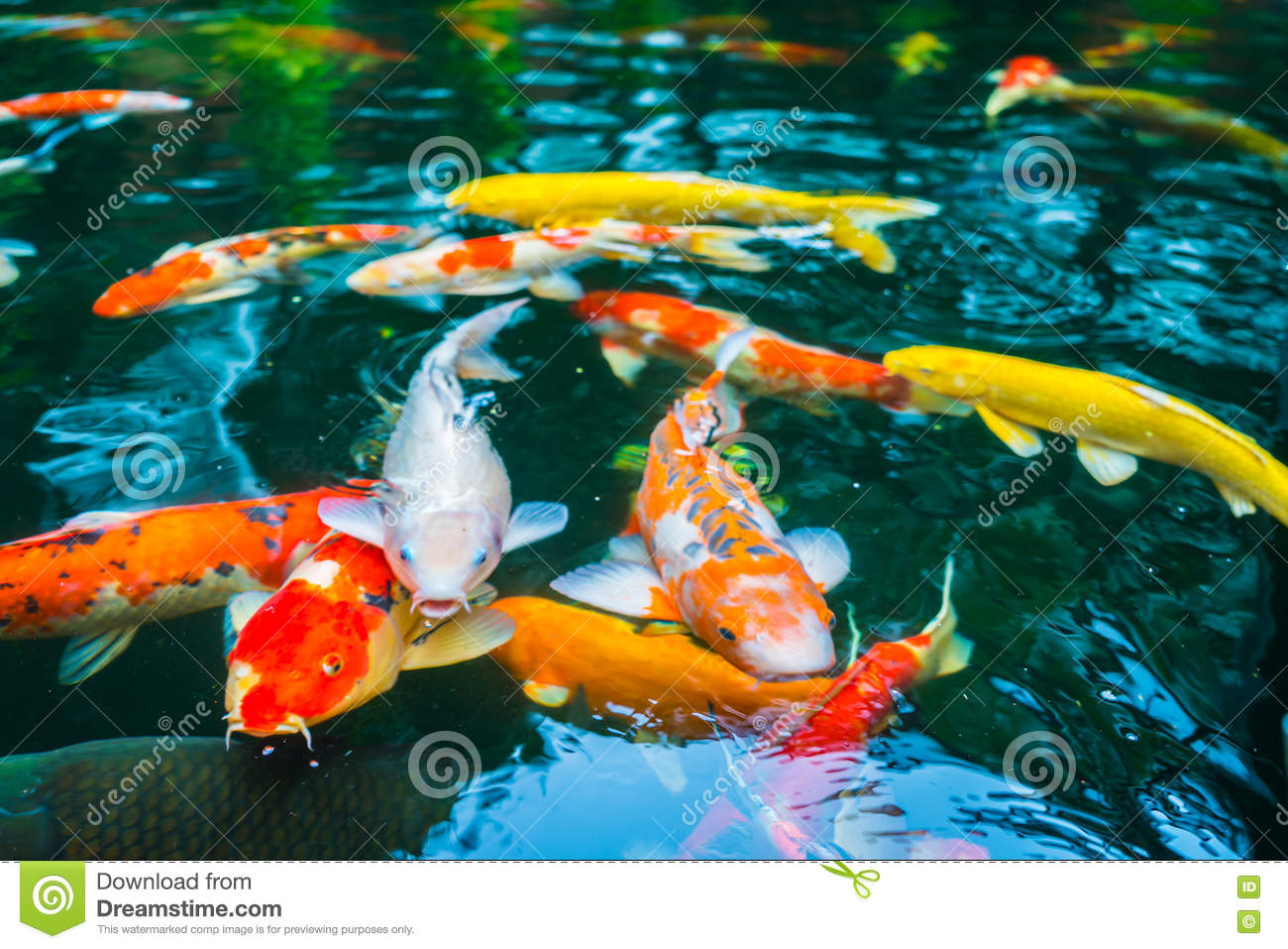 Colorful koi fish swimming in water stock image for Dream of fish swimming
