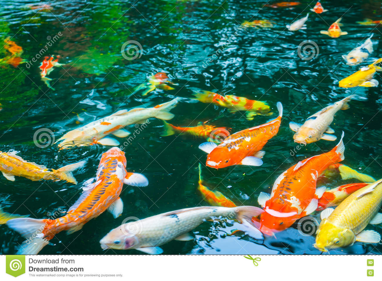 Colorful Koi Fish Swimming In Water . Stock Image - Image of gold ...