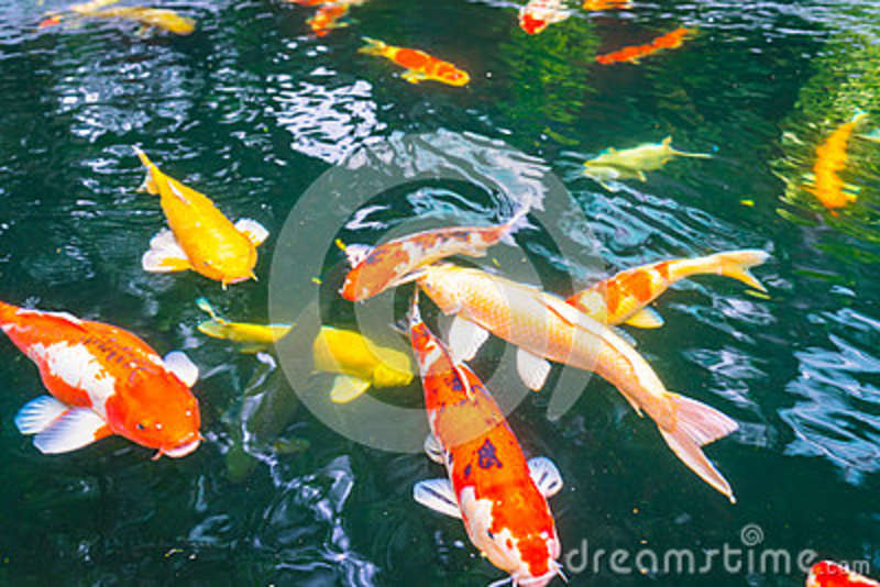 Colorful koi fish swimming in water stock image Koi fish swimming pool