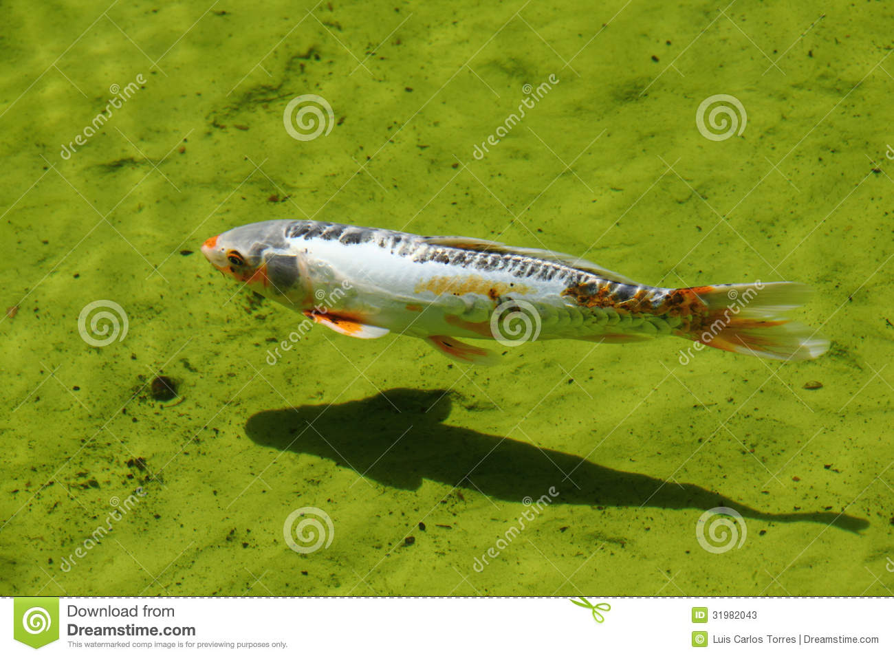 Colorful koi fish in water stock photos image 31982043 for Colorful pond fish