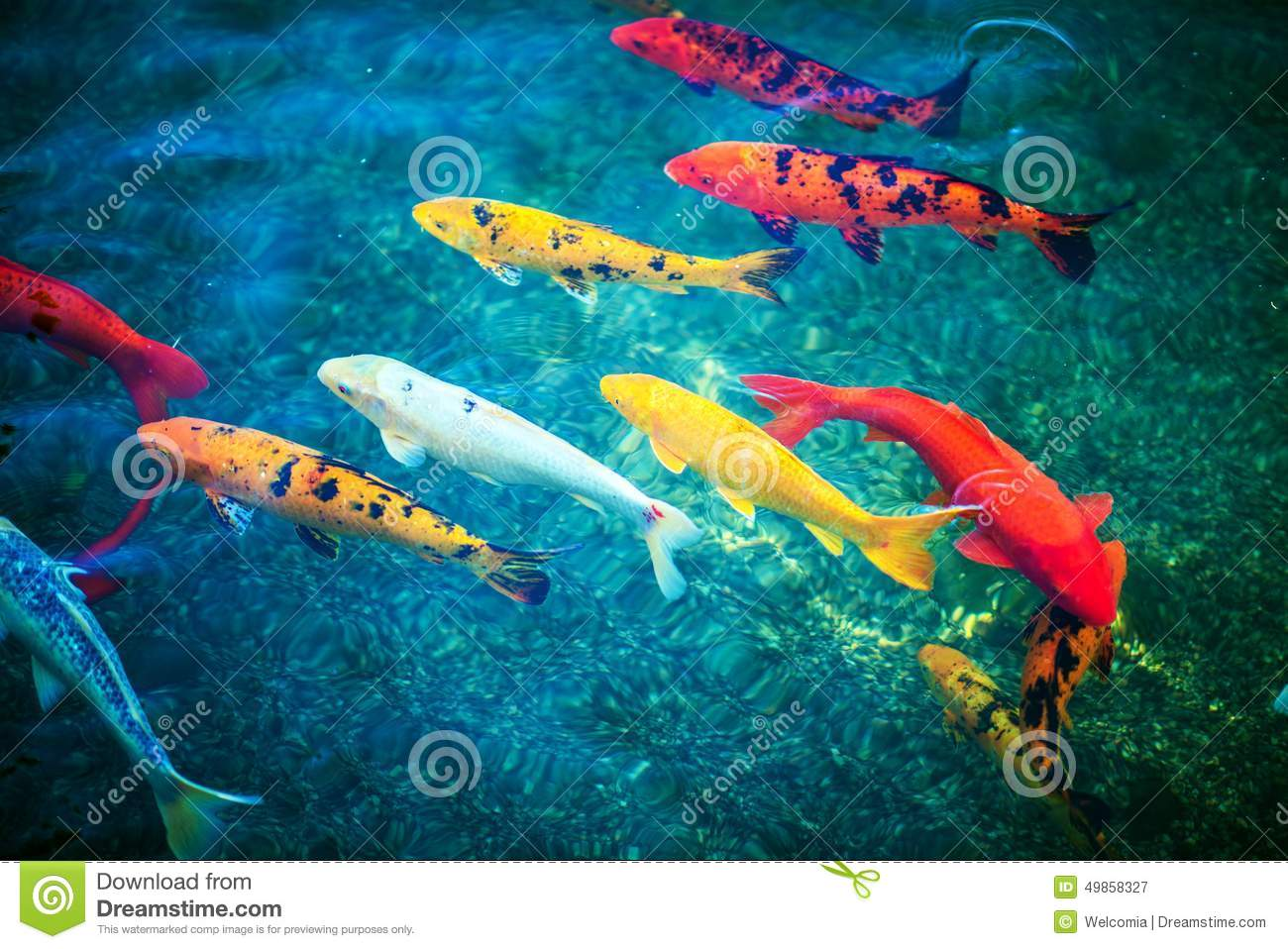 Colorful koi fishes stock image image of japanese animal for Koi pond color