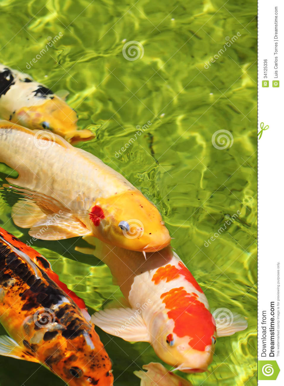 Colorful koi fishes in water royalty free stock image for Colorful pond fish