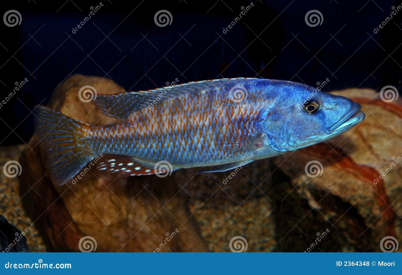 Colorful lake malawi cichlid stock photo image 2364348 for Lake malawi fish