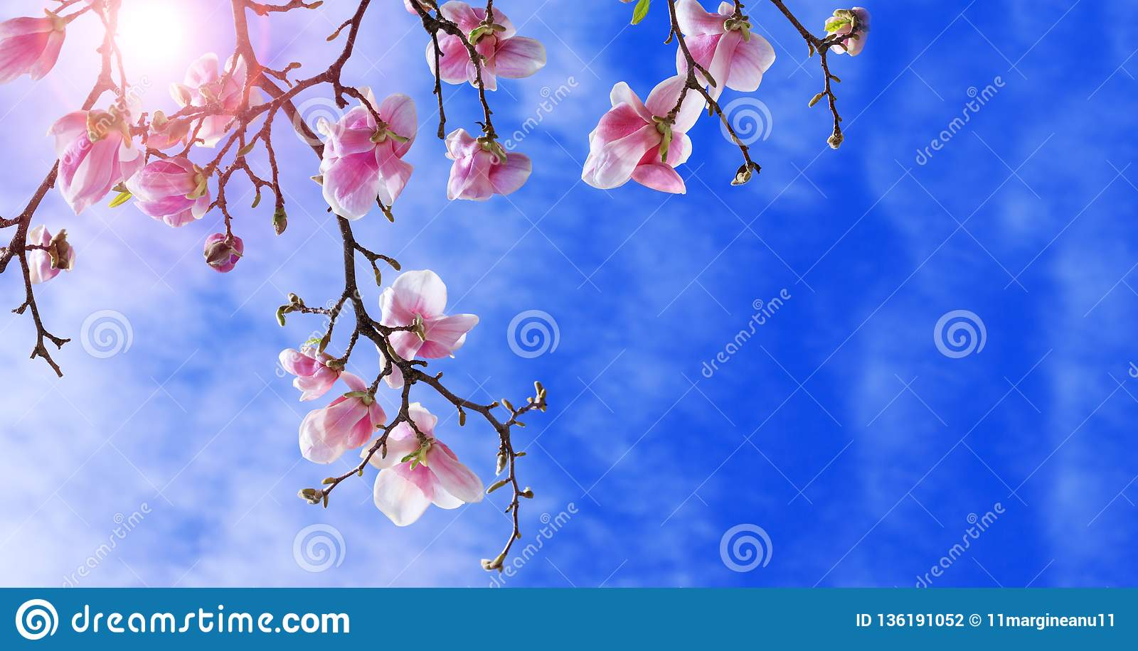 Colorful landscape of purple flowers in the spring season. Amazing background with magnolia tree. Beautiful pink magnolia petals