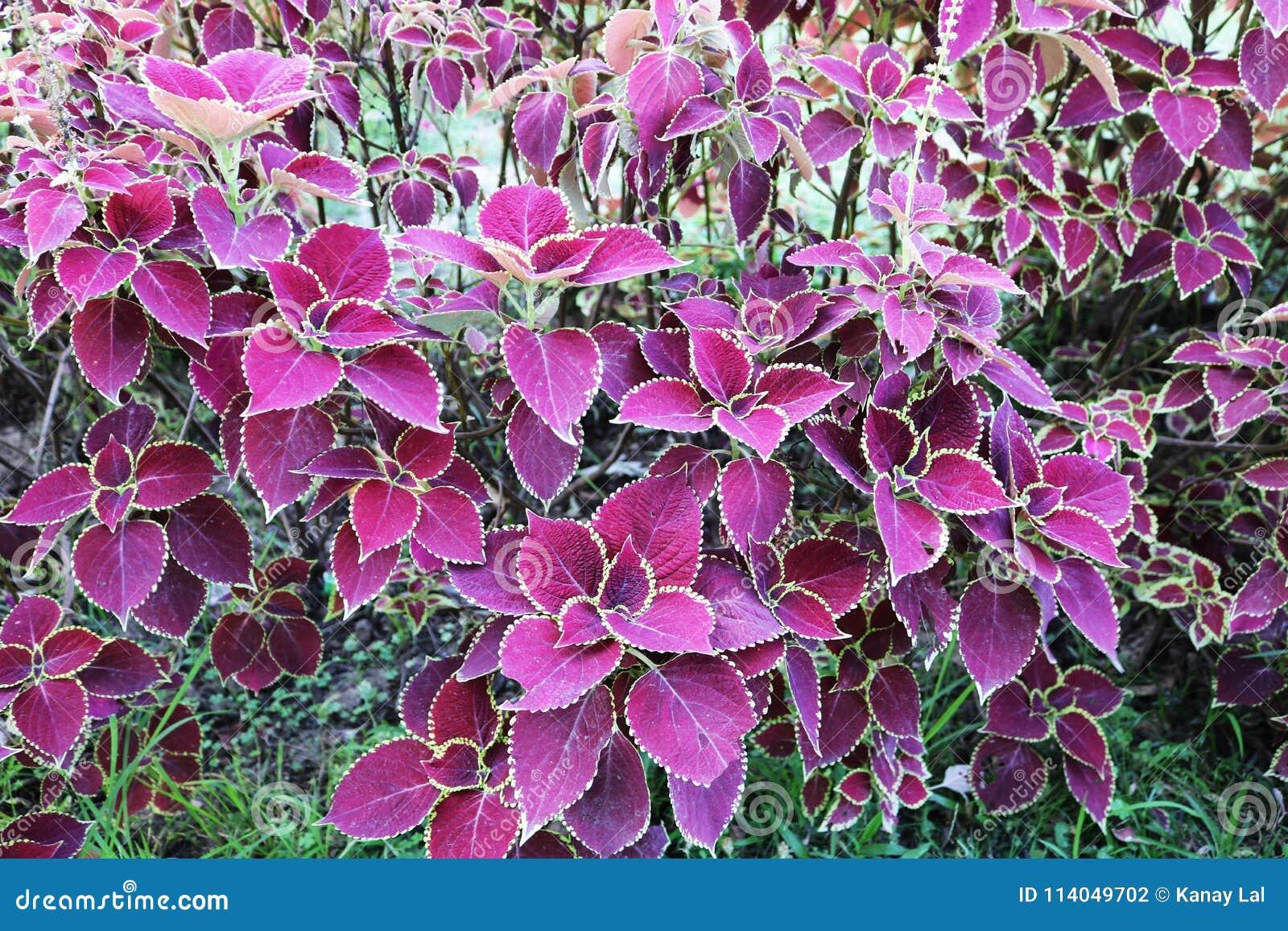 Colorful Leafs Solenostemon Scutellarioides Coleus Pink Dragon