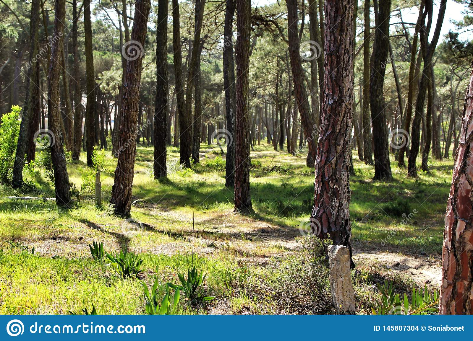 Colorful and leafy pine forest in the mountain