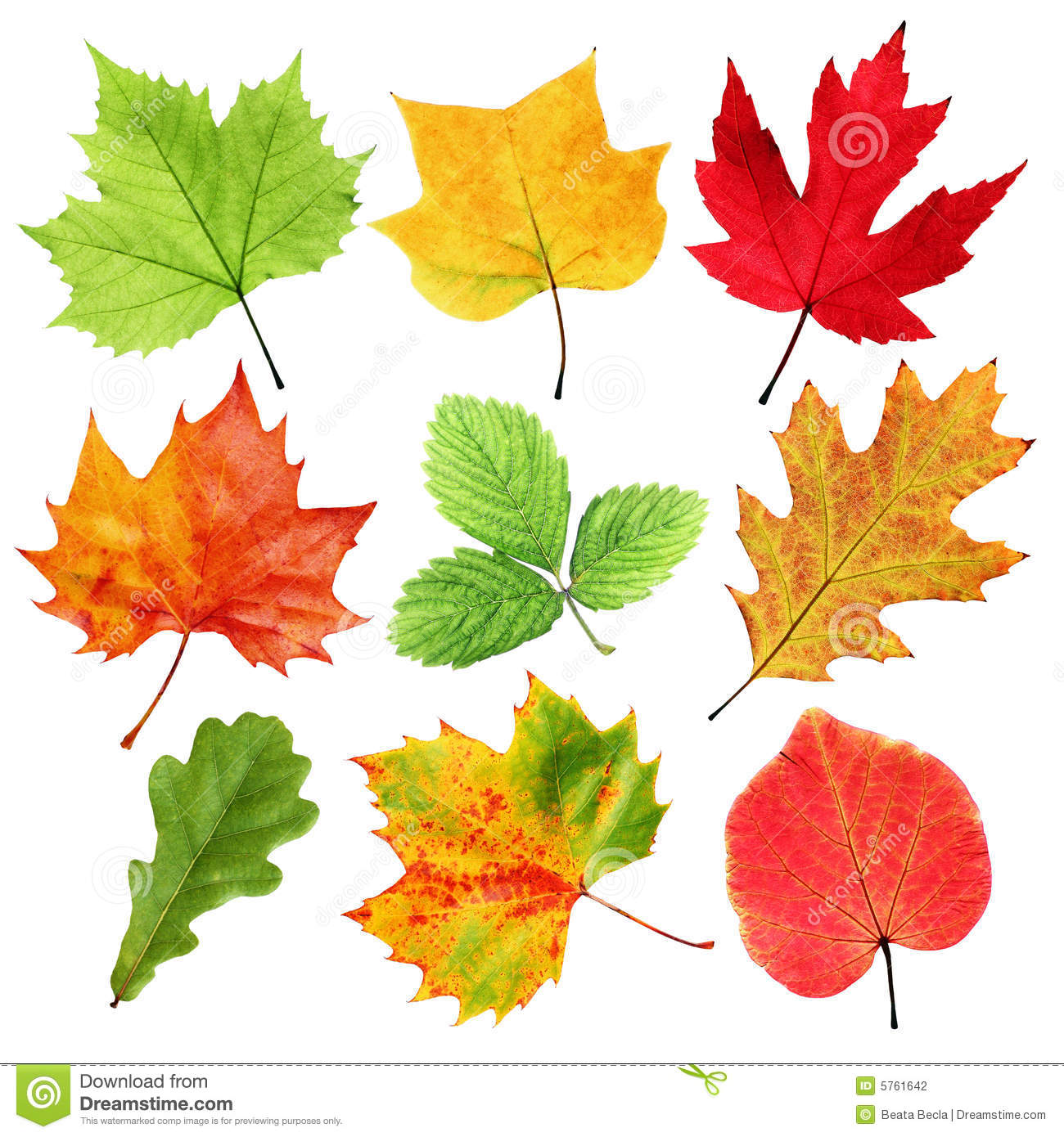 Collection of colorful fall and summer leaves isolated on white.