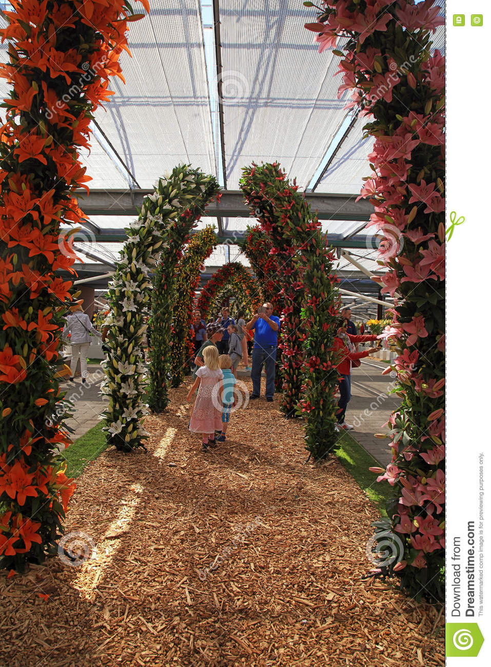 Colorful lily flowers blossoming in green-houses of Keukenhof, N