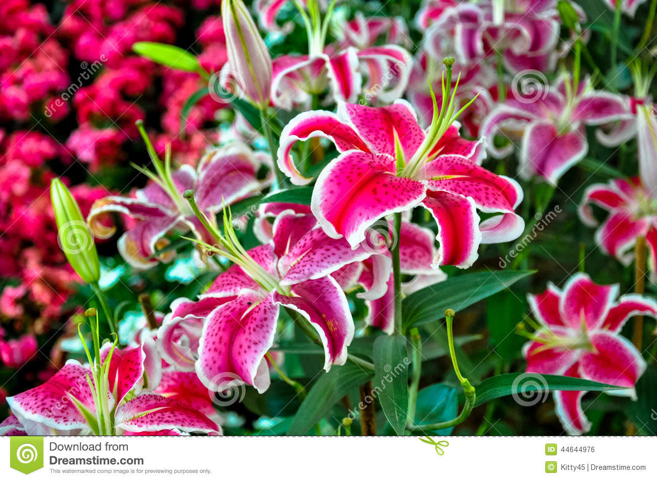 Colorful Lily Lilium Stock Photo Image Of Nature Fragility 44644976
