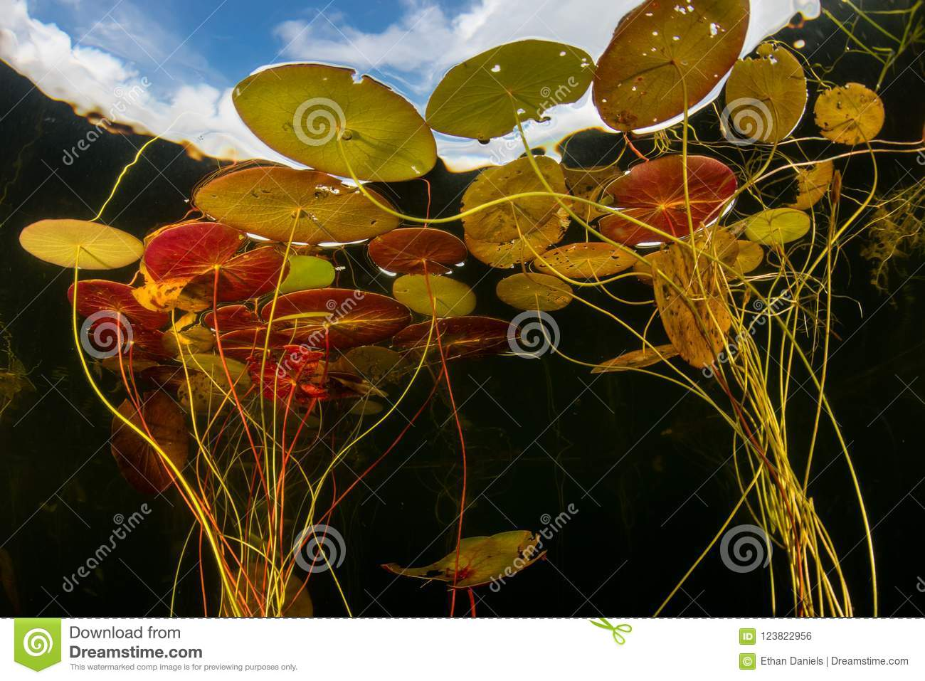 Colorful Lily Pads in New England Lake