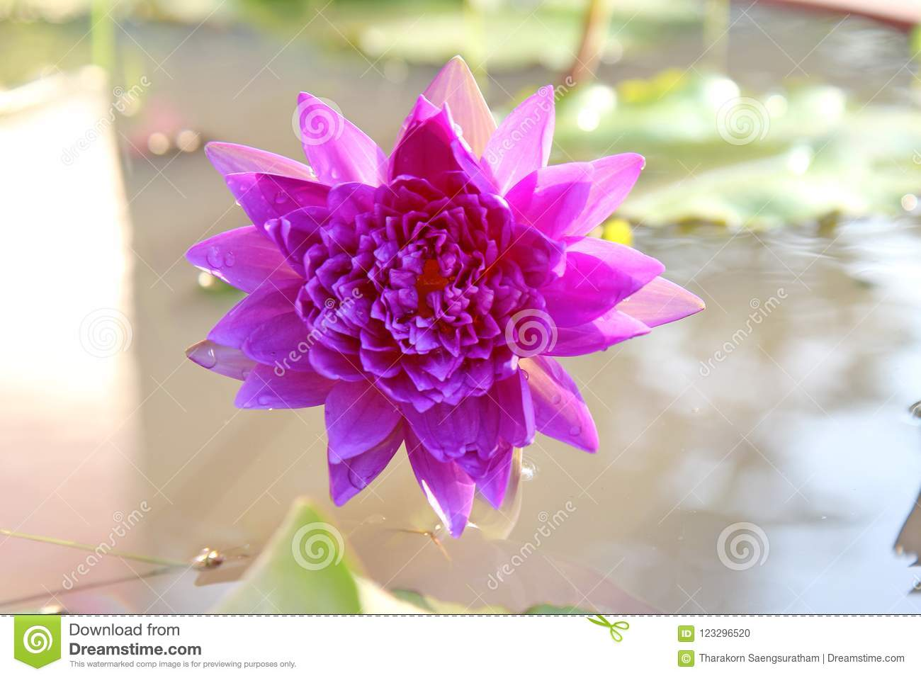 Colorful Lotus Flowers In Bright Colors In A Pool Stock Photo
