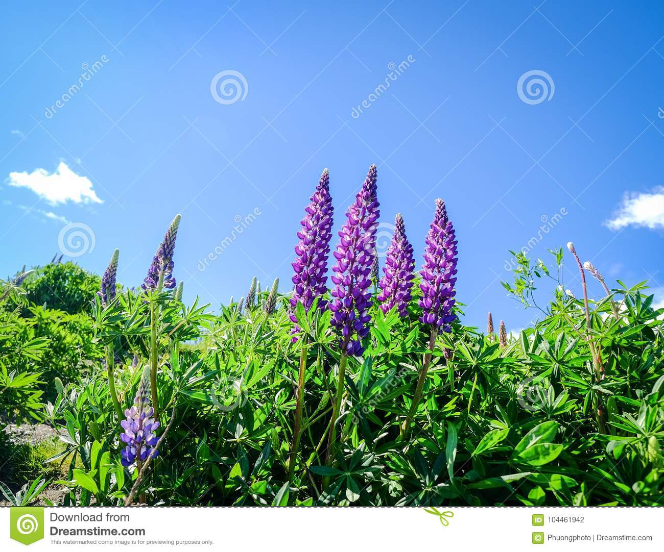 Colorful Lupine Flowers In New Zealand Stock Photo Image Of