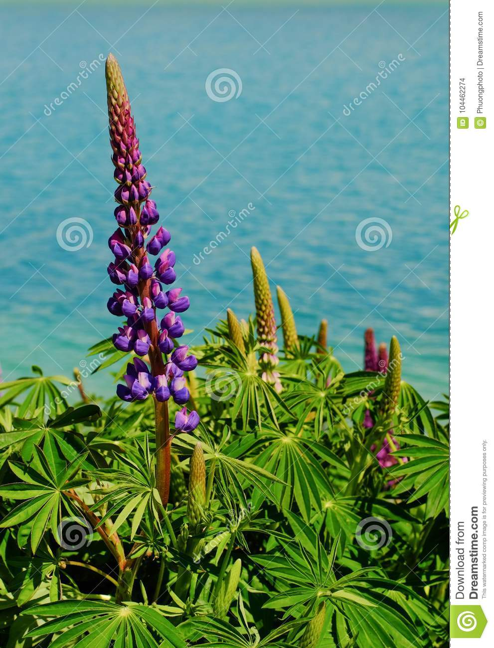 Colorful Lupine Flowers In New Zealand Stock Photo Image Of Petals