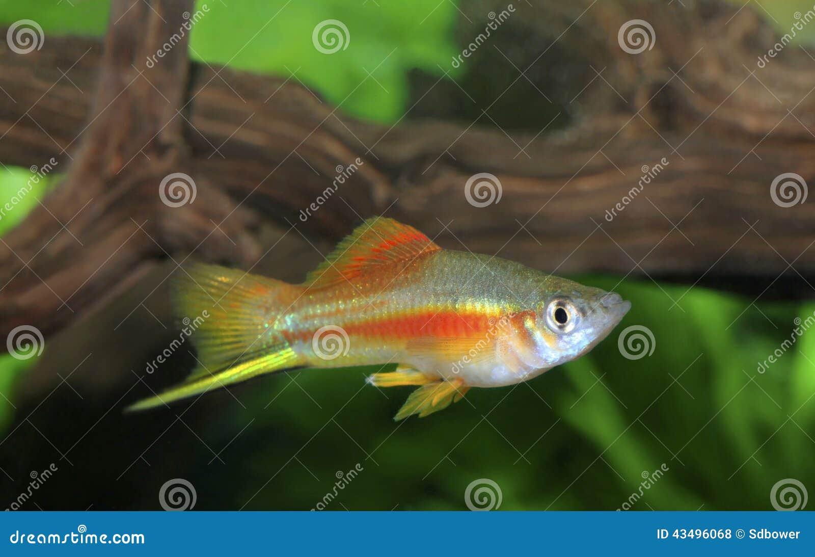 Colorful Male Neon Swordtail Fish In An Aquarium Stock Photo - Image ...