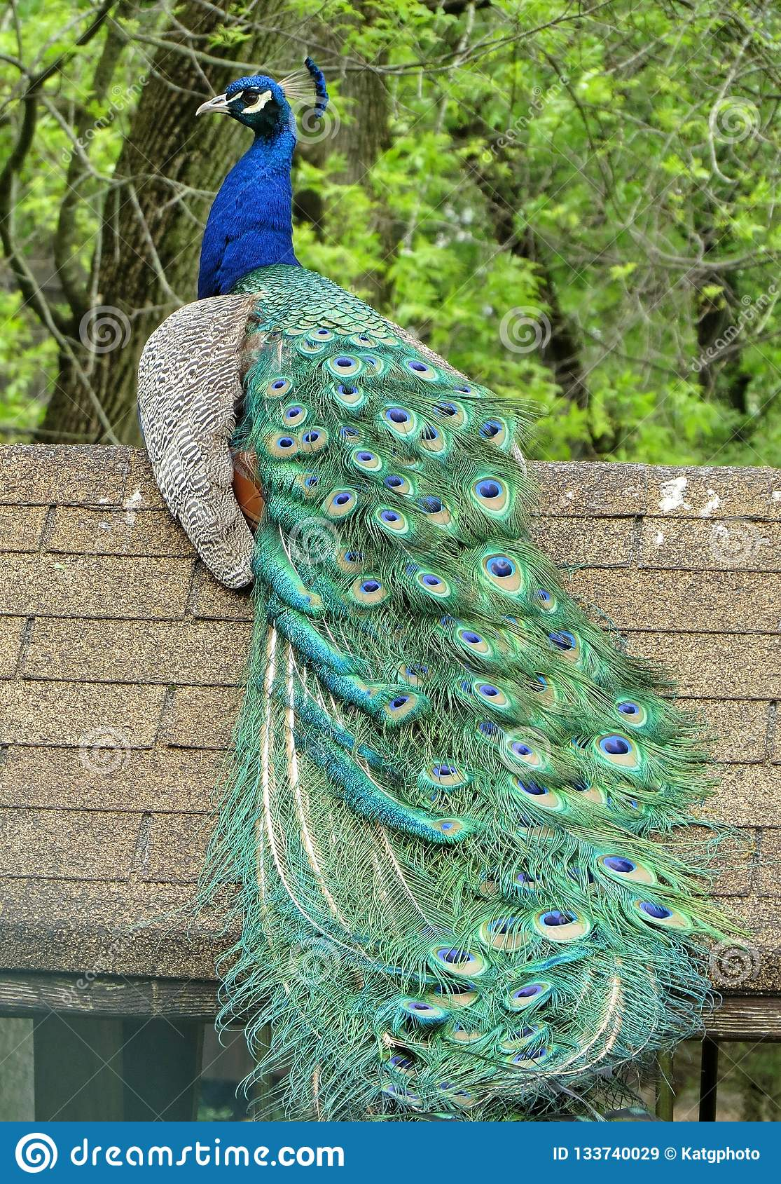 Proud Peacock Sitting On Top Of His Home