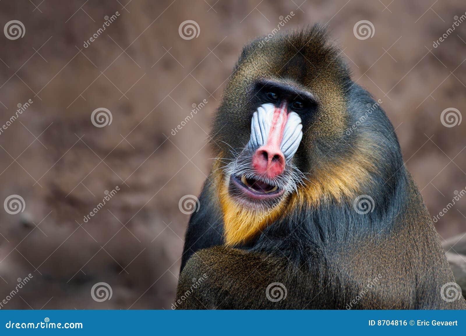 Colorful mandrill