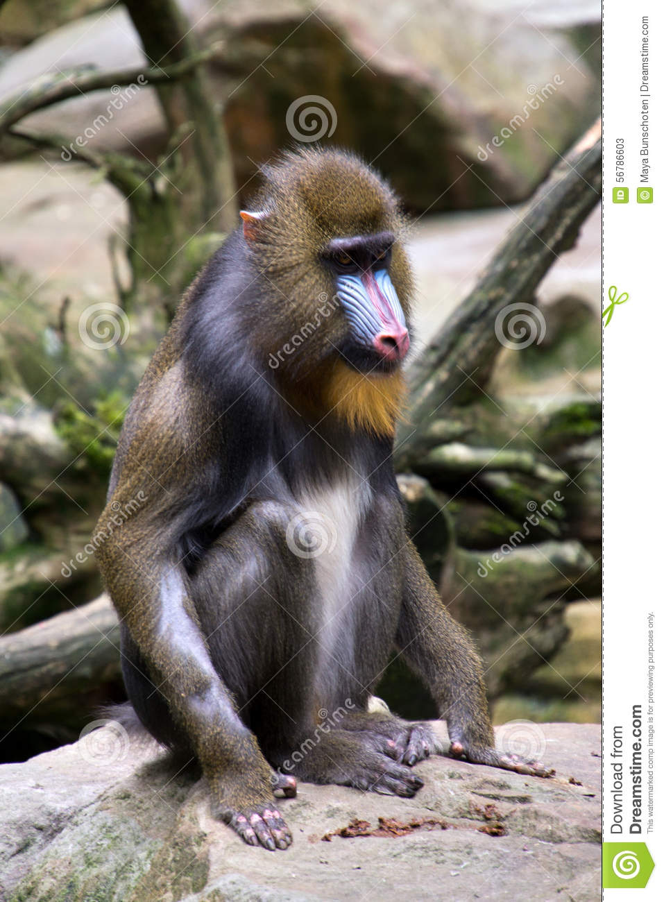 Baboon Mouth Stock Photos and Images  alamycom
