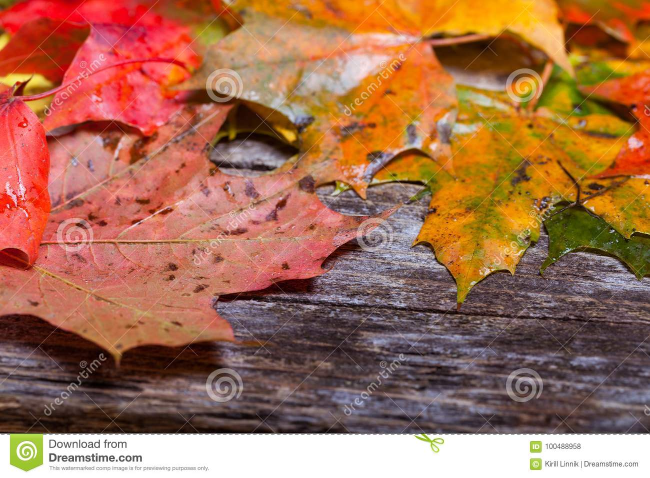Download Maple foliage on the able stock photo. Image of background - 100488958