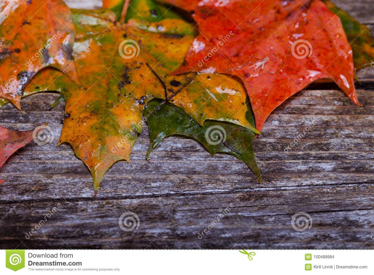 Download Maple foliage on the able stock photo. Image of canada - 100488984
