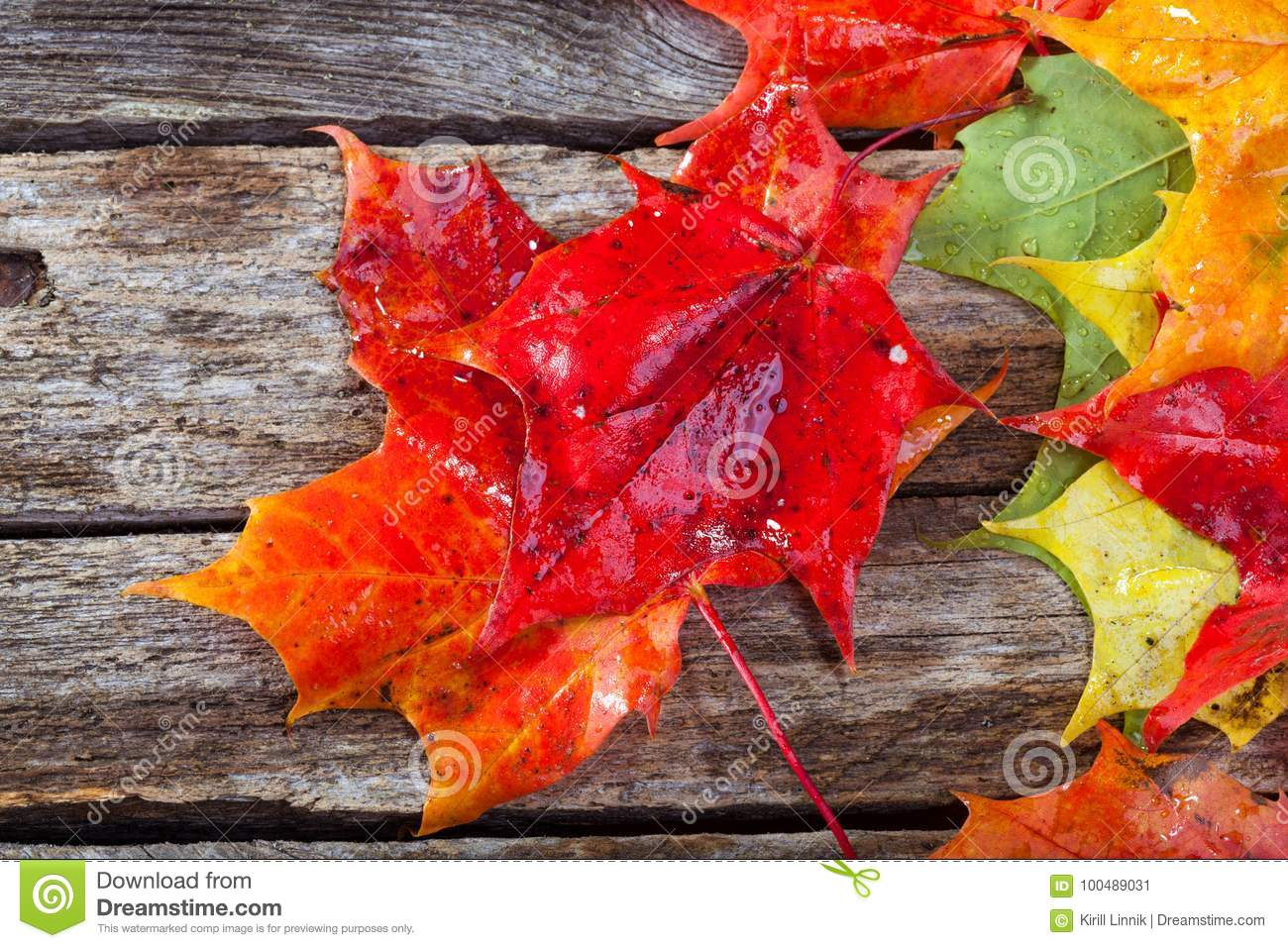 Download Maple foliage on the able stock image. Image of green - 100489031