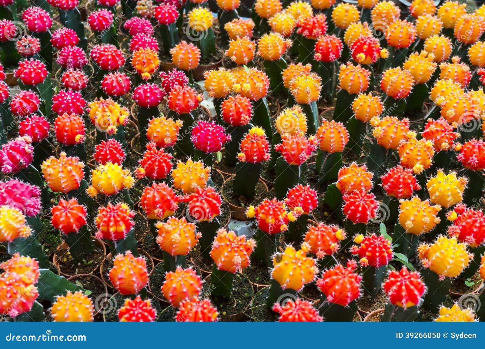 colorful mini cactus stock photo image 39266050. Black Bedroom Furniture Sets. Home Design Ideas
