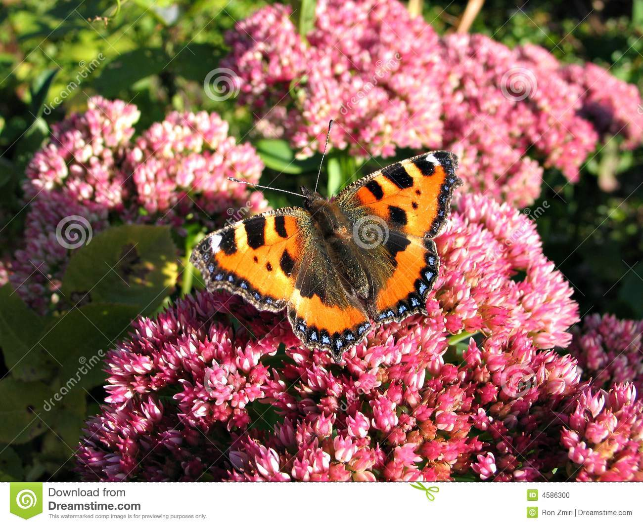 Colorful monarch butterfly with spread wings on a flower