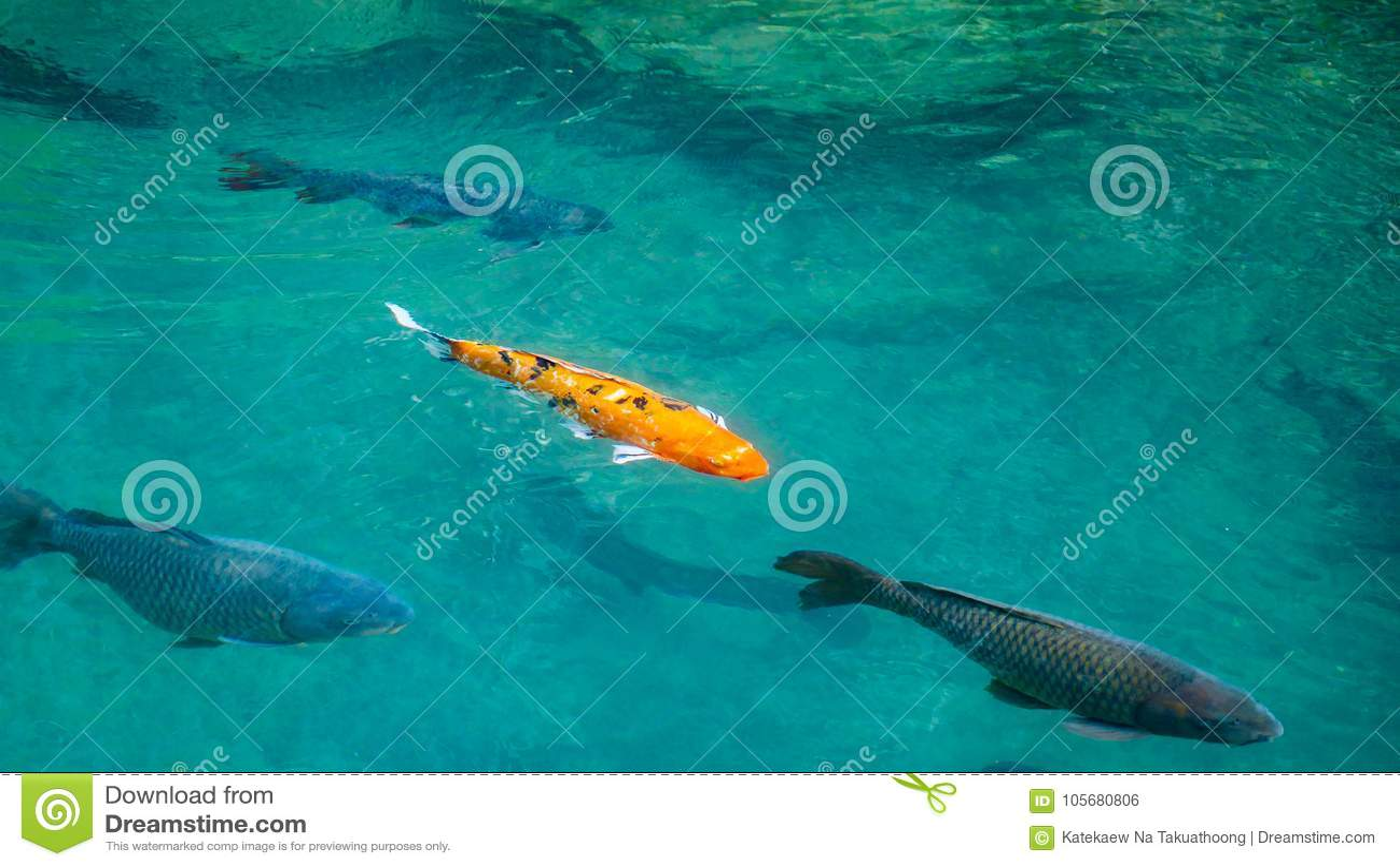 Twilight In Koi Pond >> Colorful Orange Black And White Carp Fish Stock Photo Image Of