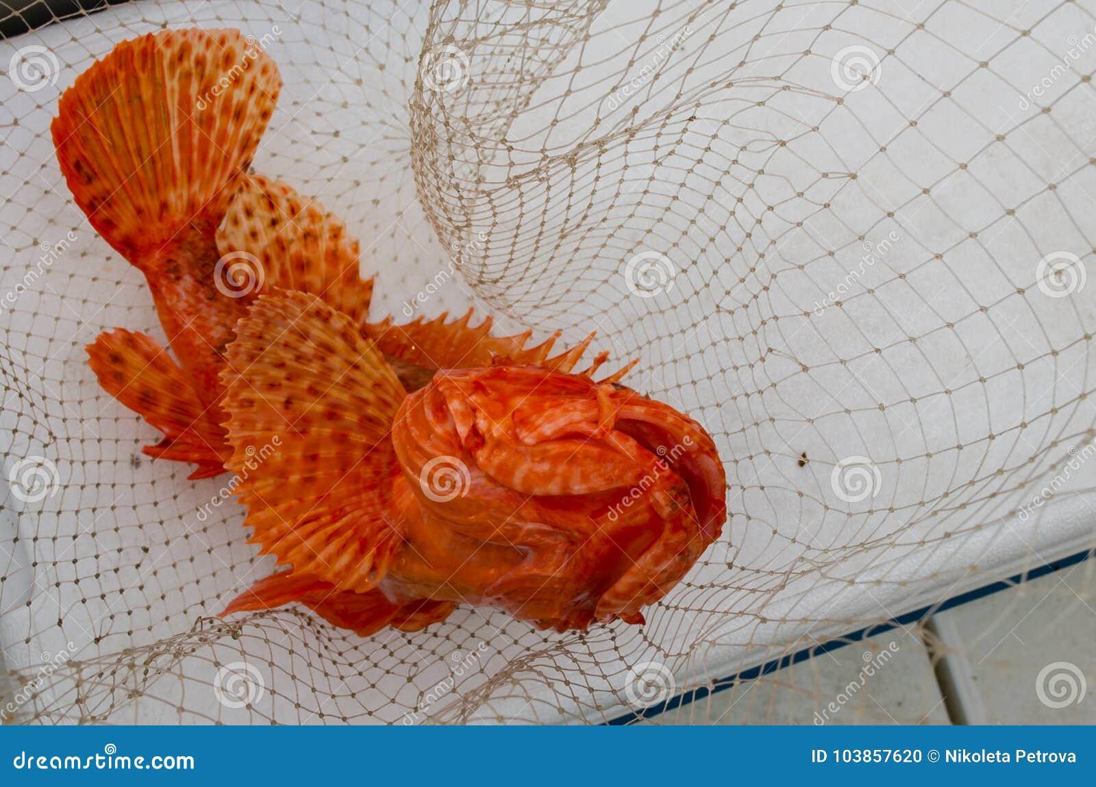 Colorful Orange Scorpaenidae Fish Caught Stock Photo - Image of ...