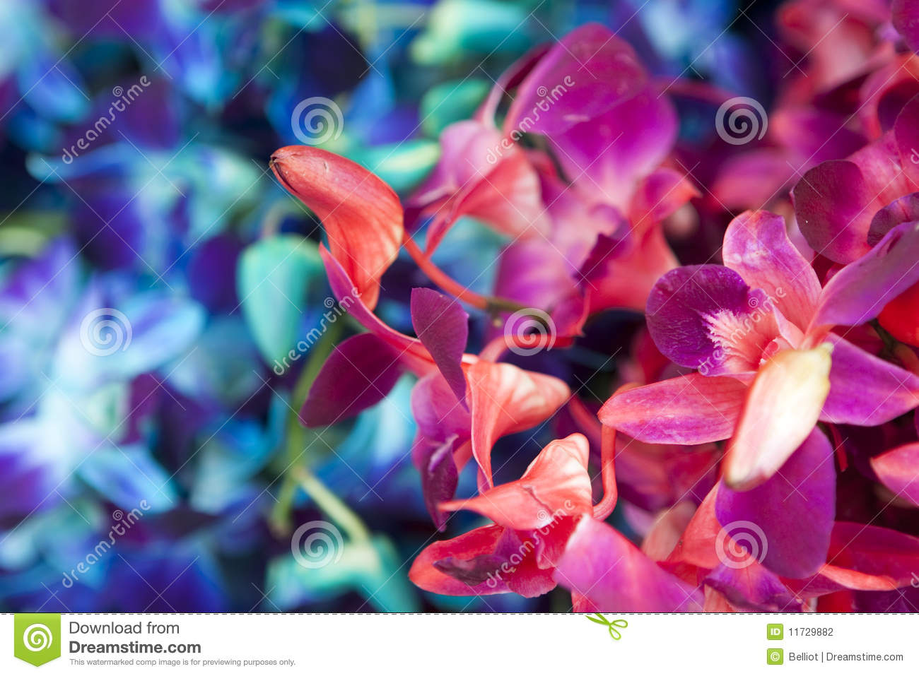 Colorful Orchids stock photo. Image of pacific, pink - 11729882