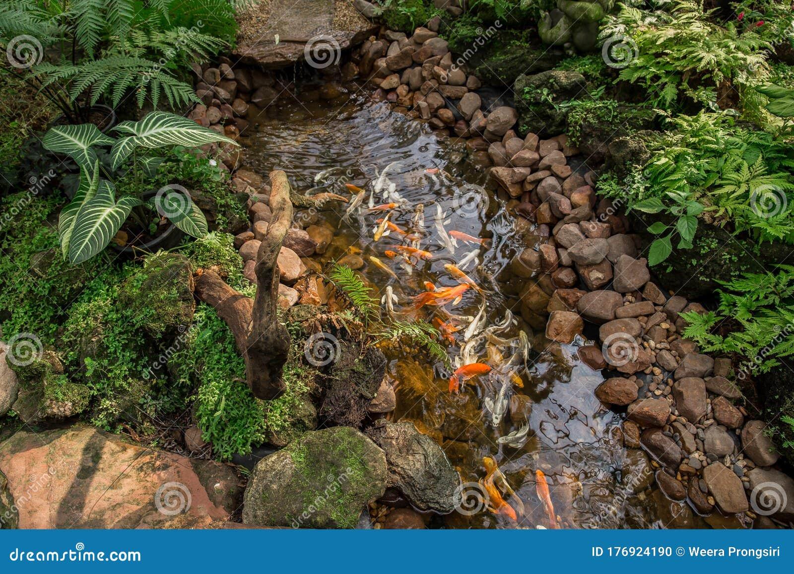 Pond Koi Carp Ornamental Garden Japanese Garden Front Or Back Yard Stock Photo Image Of Nature Orange 176924190