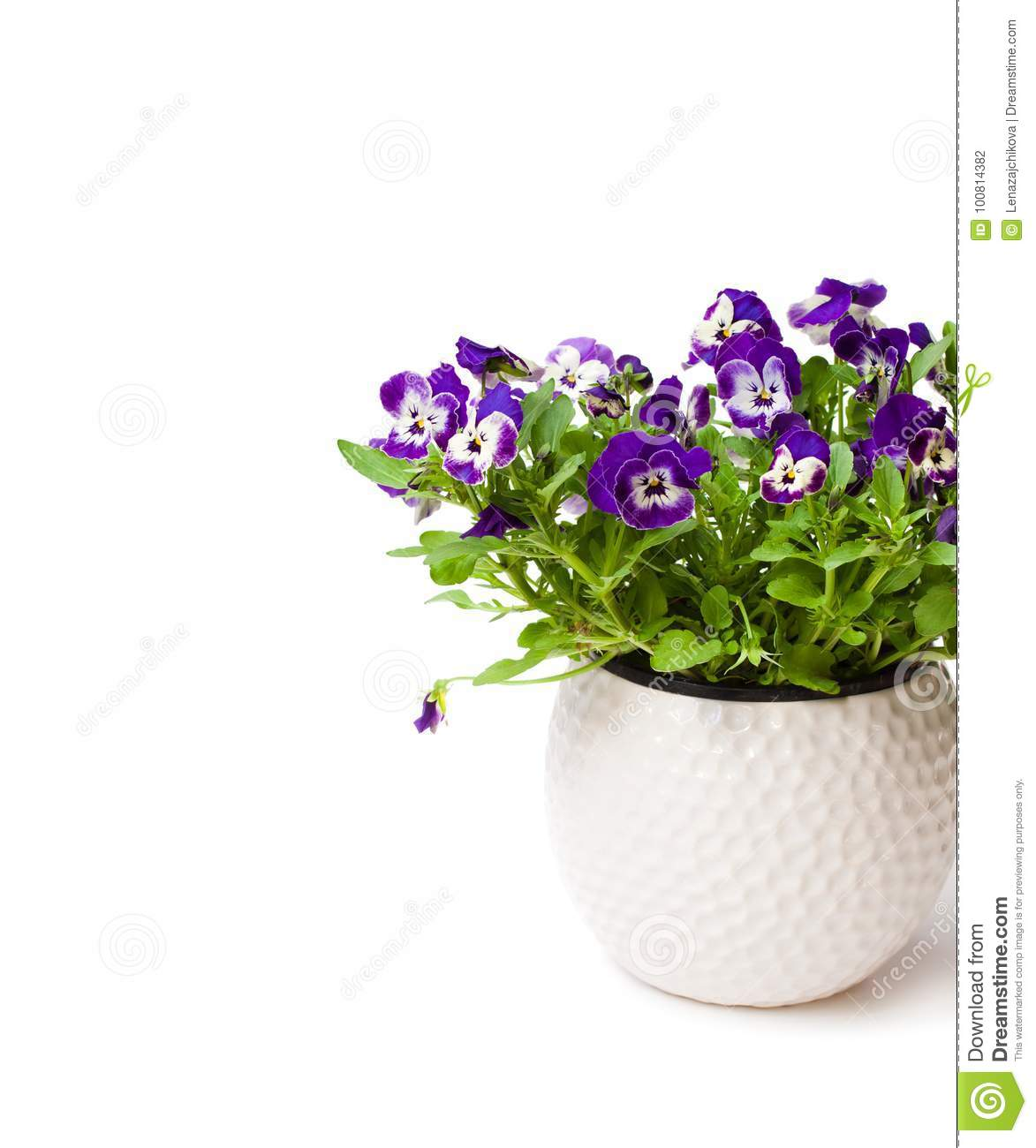 Colorful pansy flower plant in white pot isolated