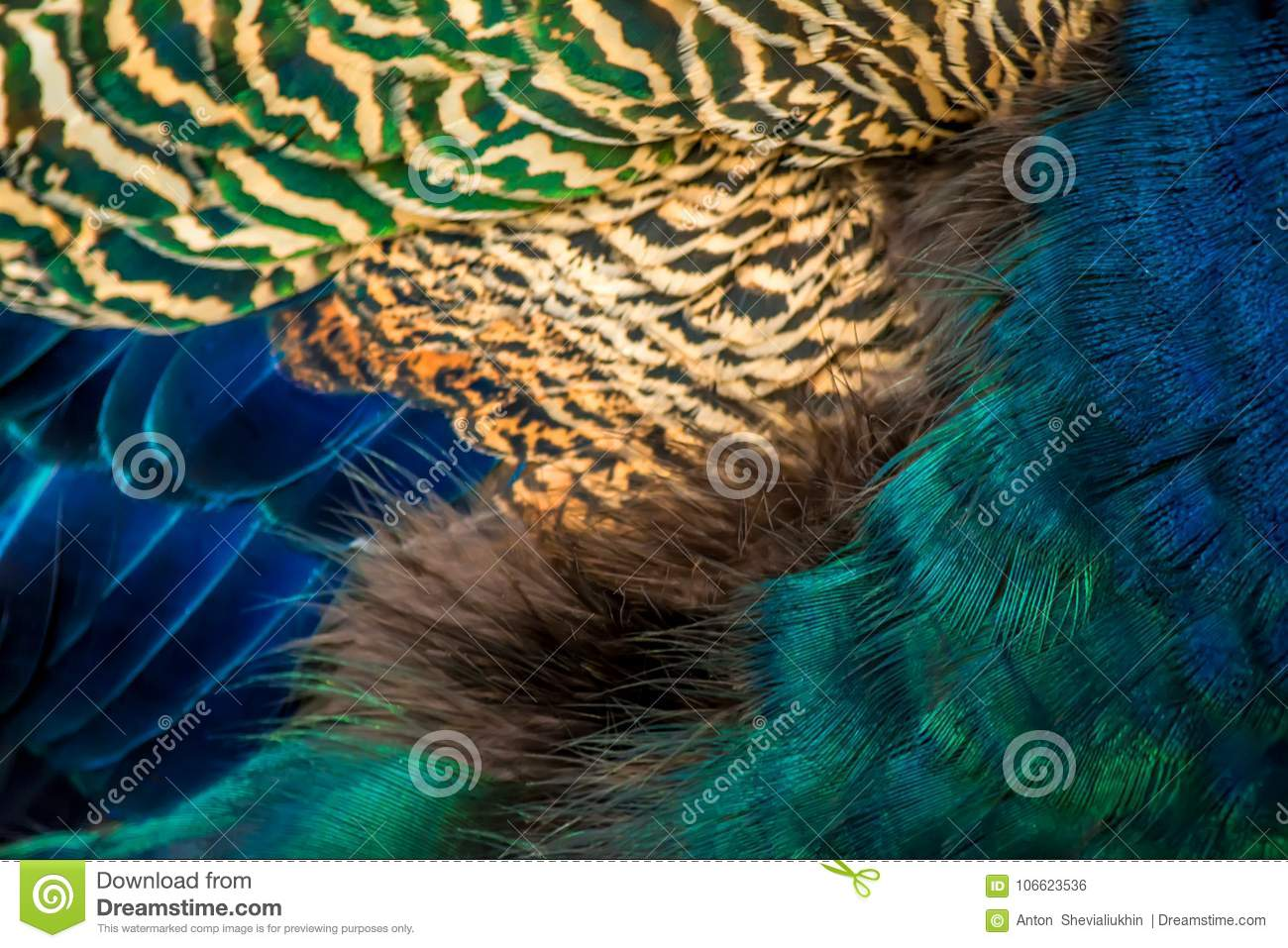 Colorful peacock feathers close-up background texture
