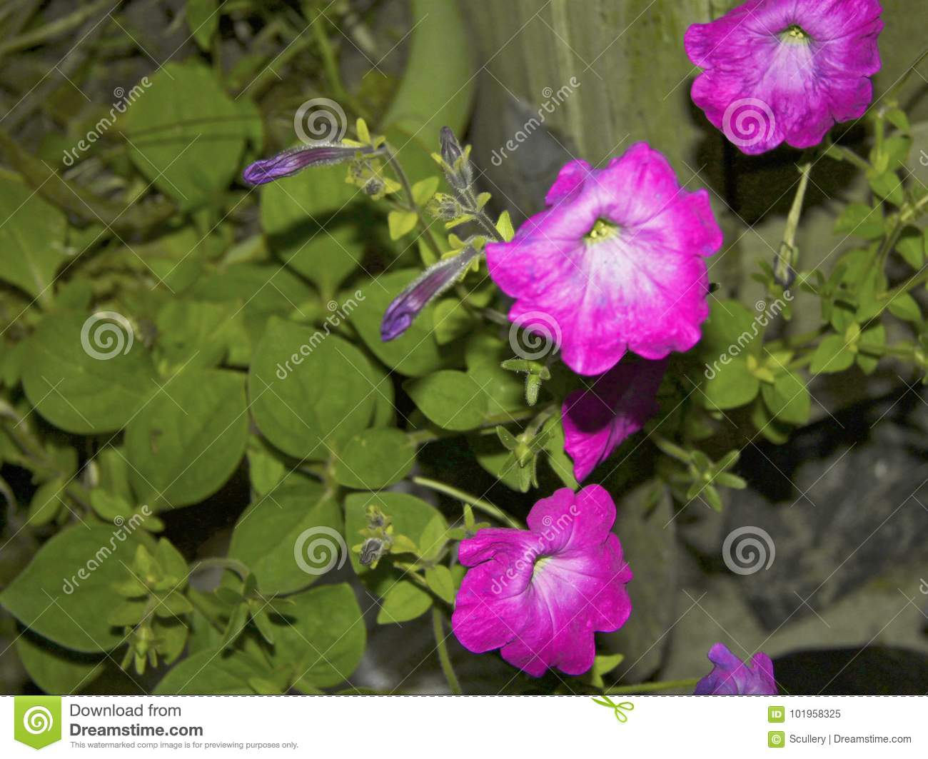 Colorful Petunia Flowers Blooming In The Garden Stock Image - Image ...