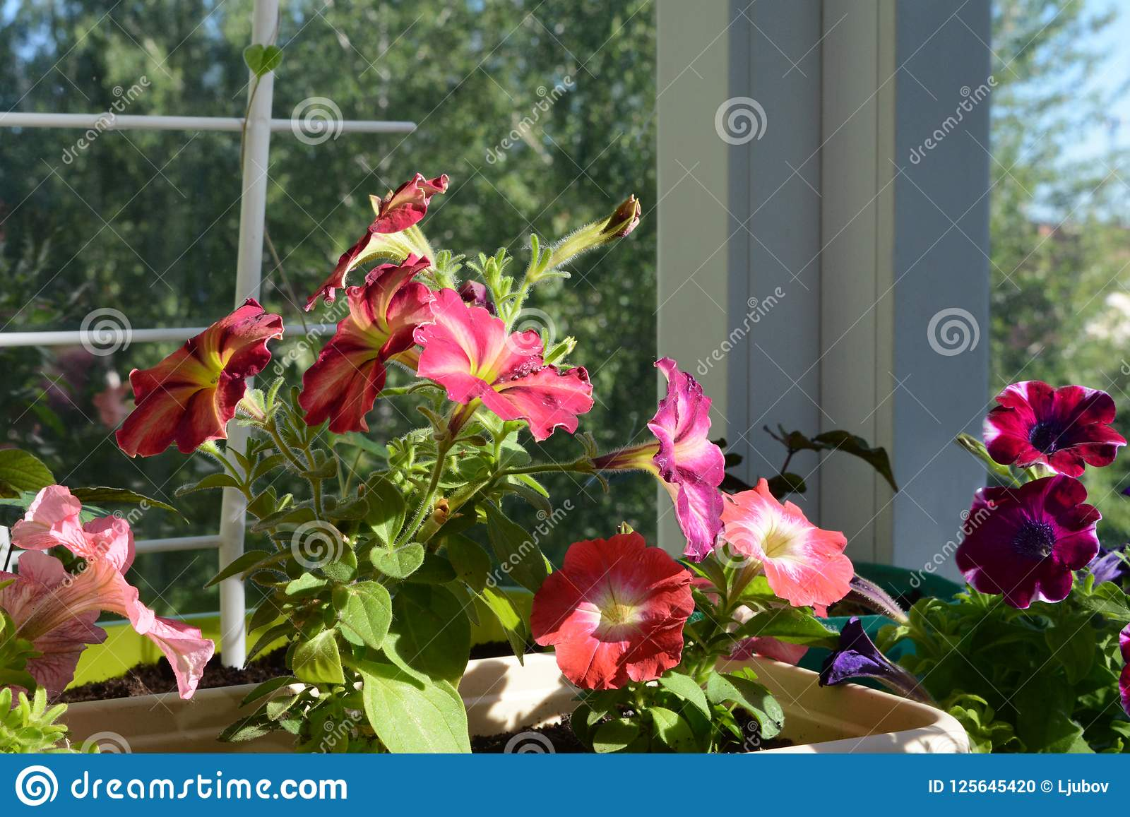 Colorful Petunia Flowers On Sunlight Balcony Gardening With