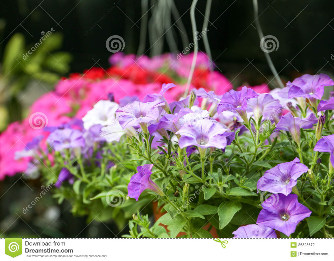 Colorful Petunias Hanging In The Flowerpots Stock Photo - Image of ...