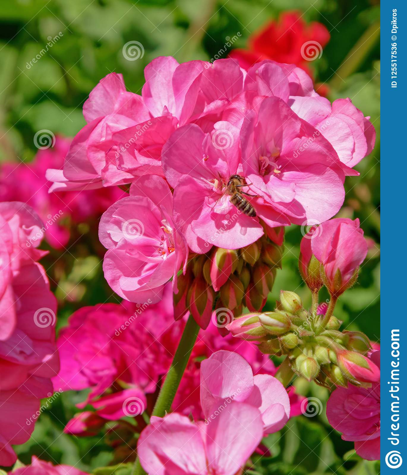 Colorful Pink Geranium Flowers In The Garden Stock Photo Image Of