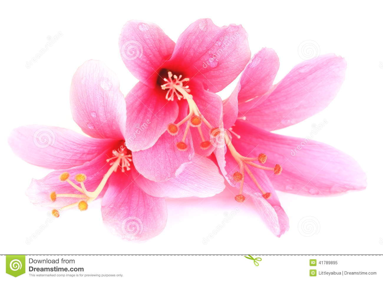 Colorful Pink Hibiscus Flower Isolated On A White ...