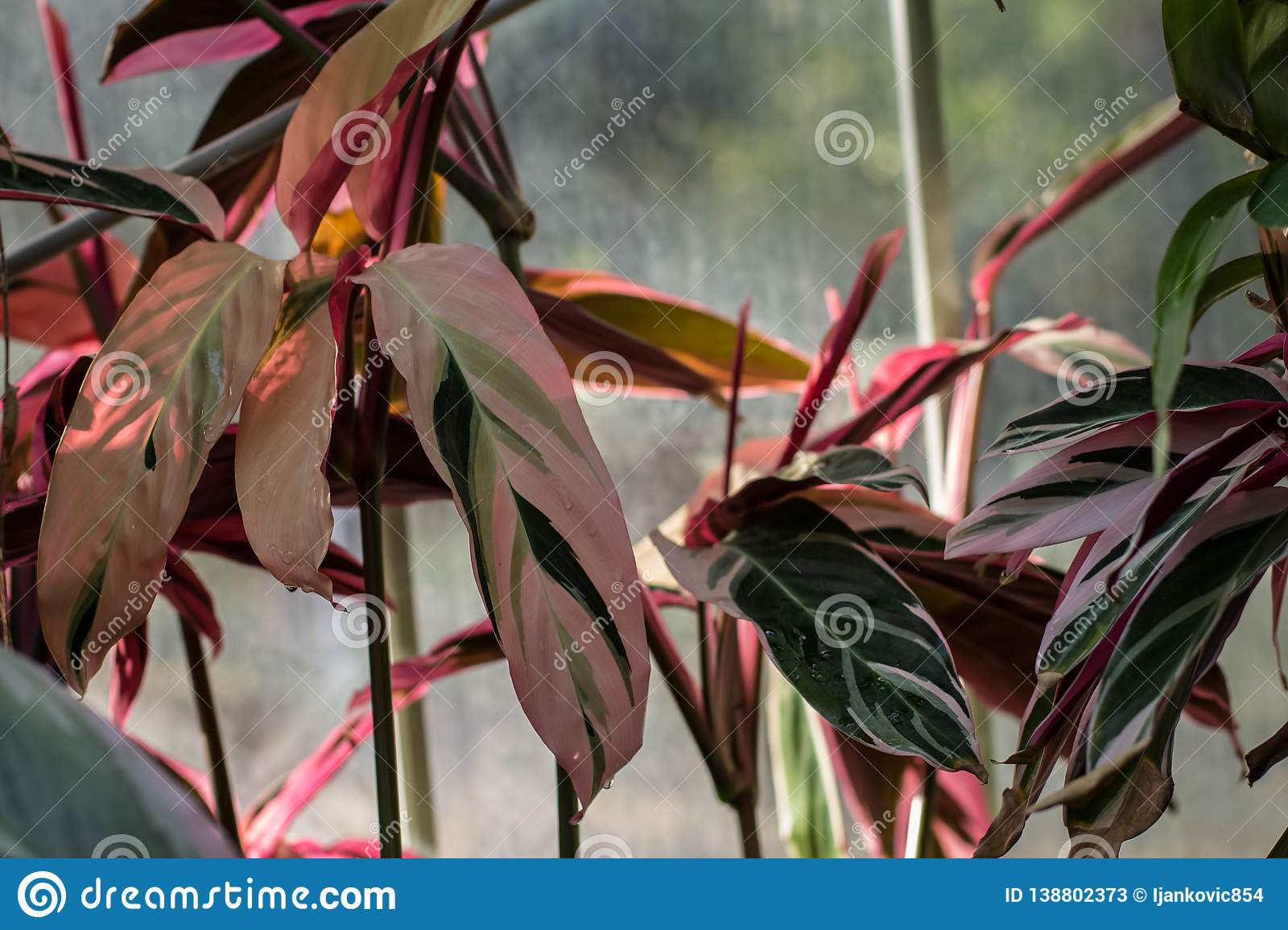 Colorful Leaves Of Stromanthe Sanguinea Stock Image Image Of