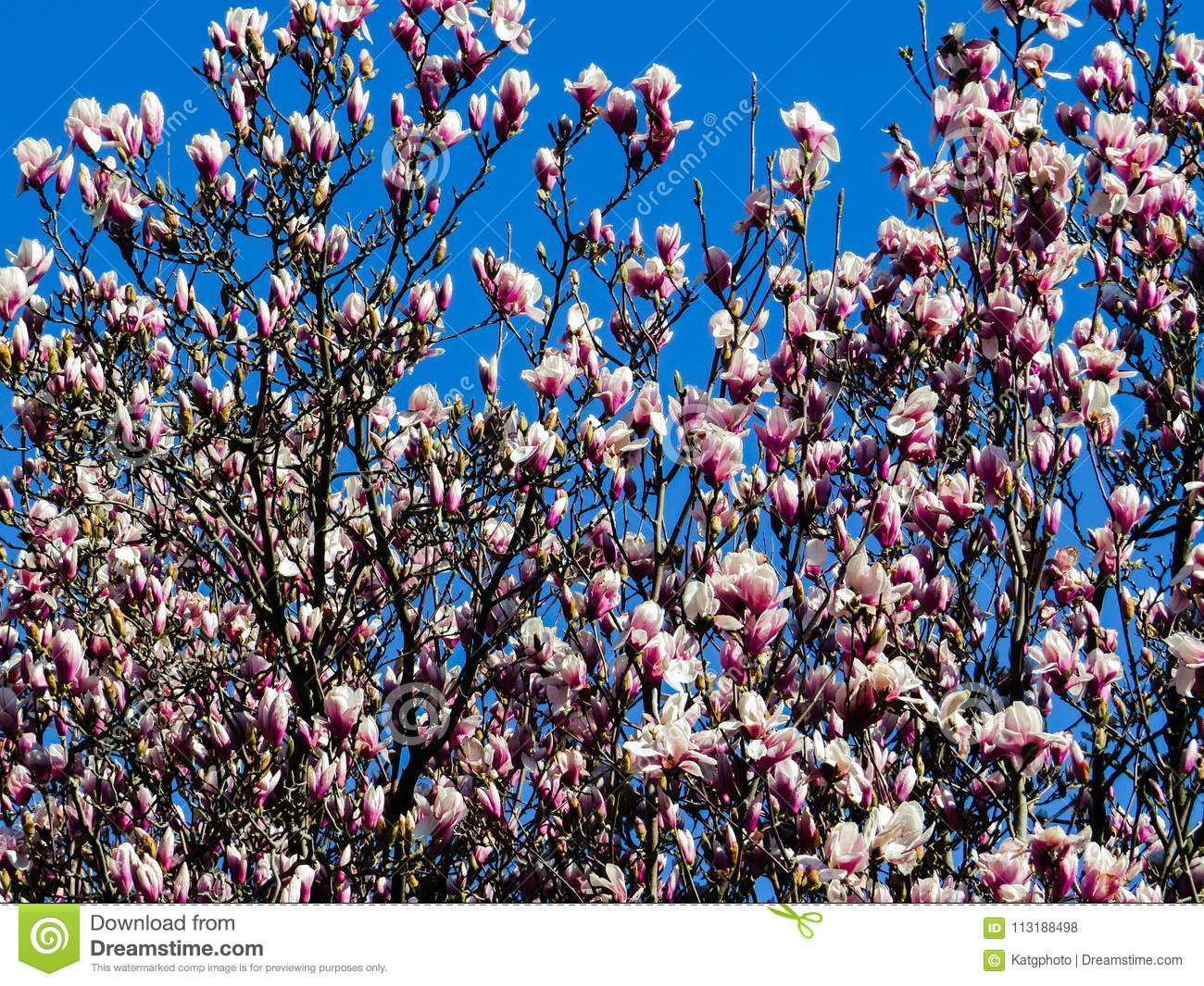 Pink And White Saucer Magnolia Tree Against The Deep Blue Sky