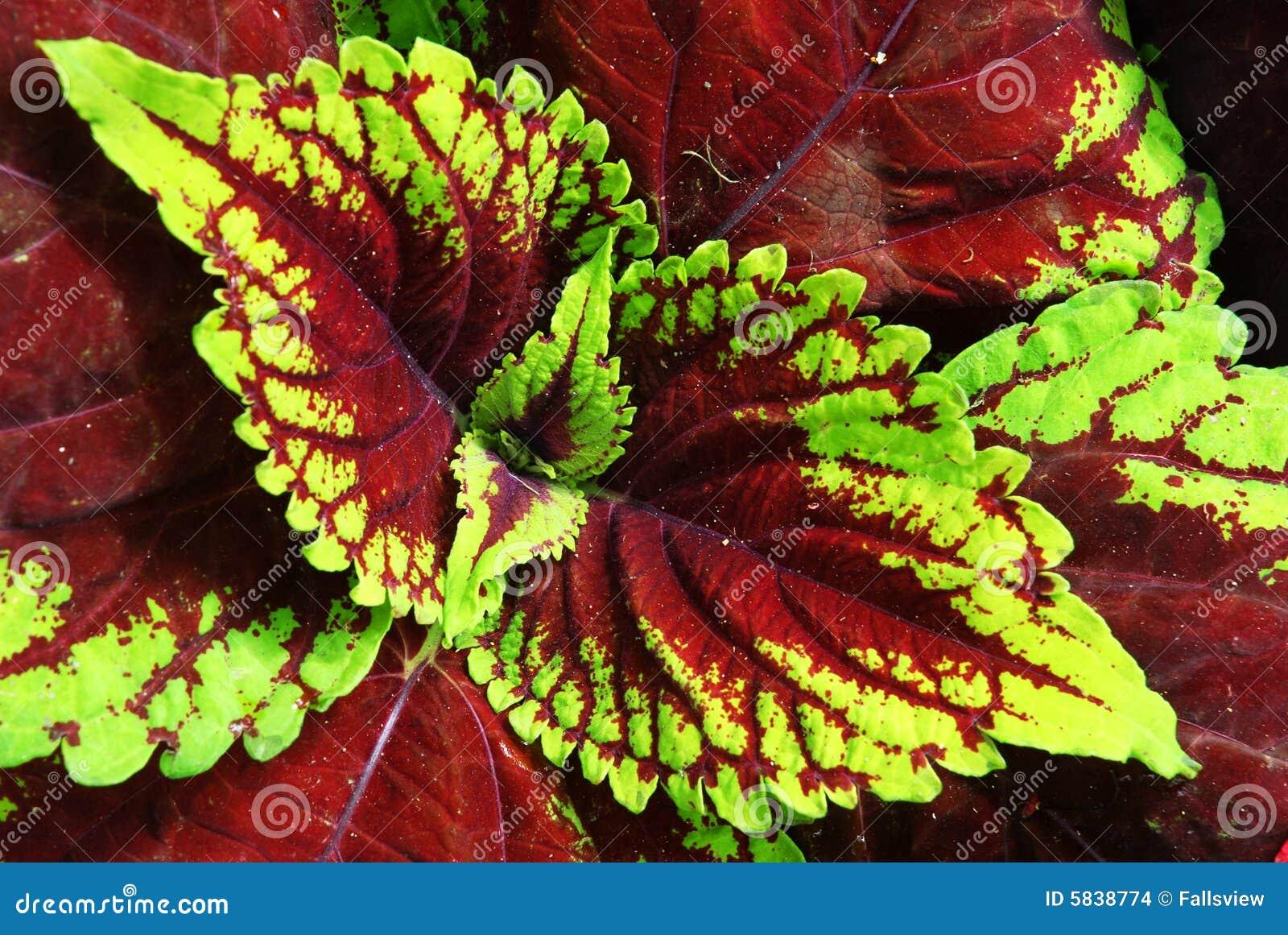 colorful leaf plants. colorful bedding plants colorful bedding, Natural flower