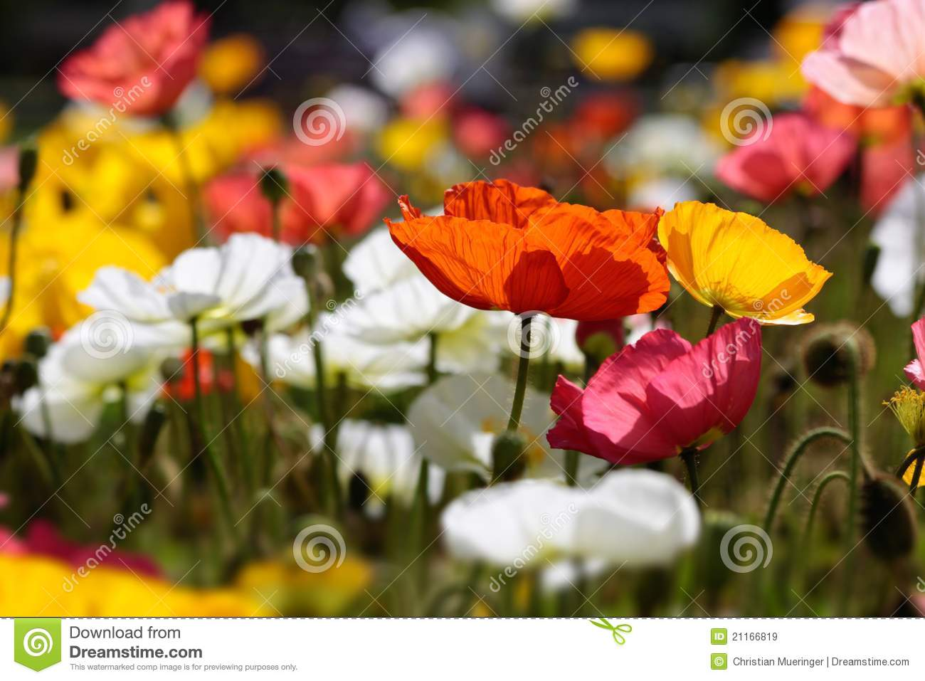 colorful poppies royalty free stock images  image, Beautiful flower