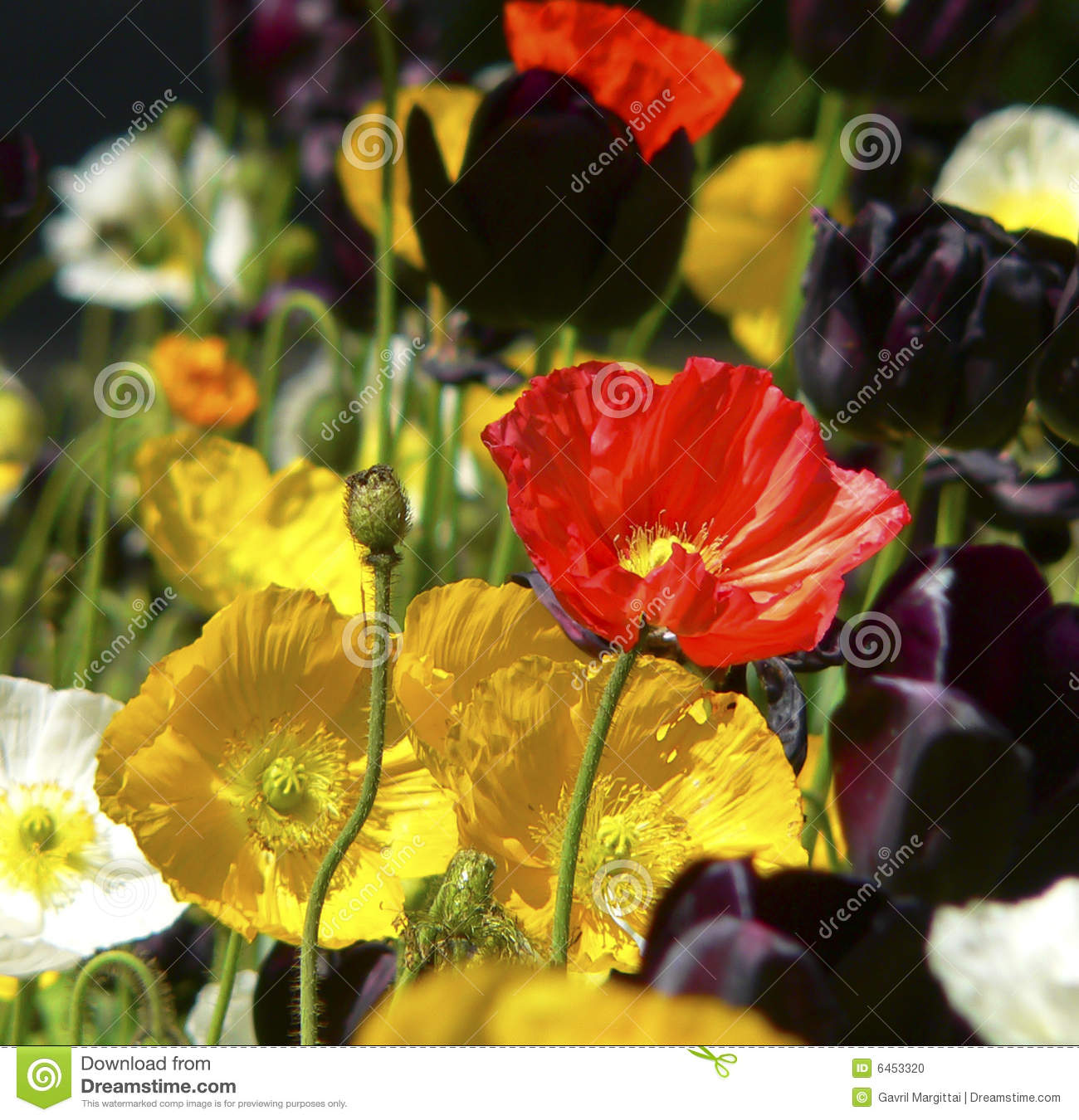 colorful poppies stock photo  image, Beautiful flower