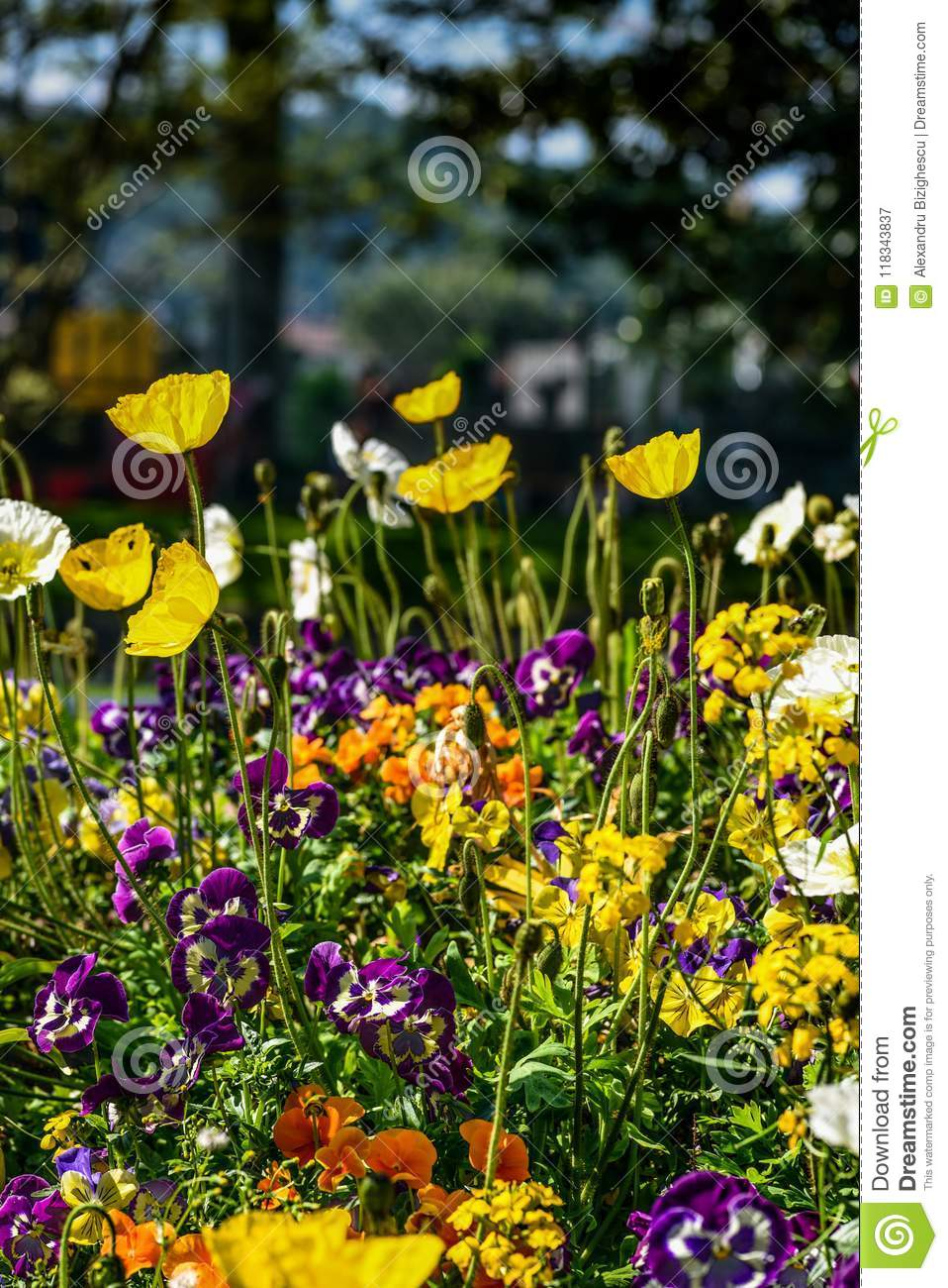 Colorful poppies and other flowers in a public garden