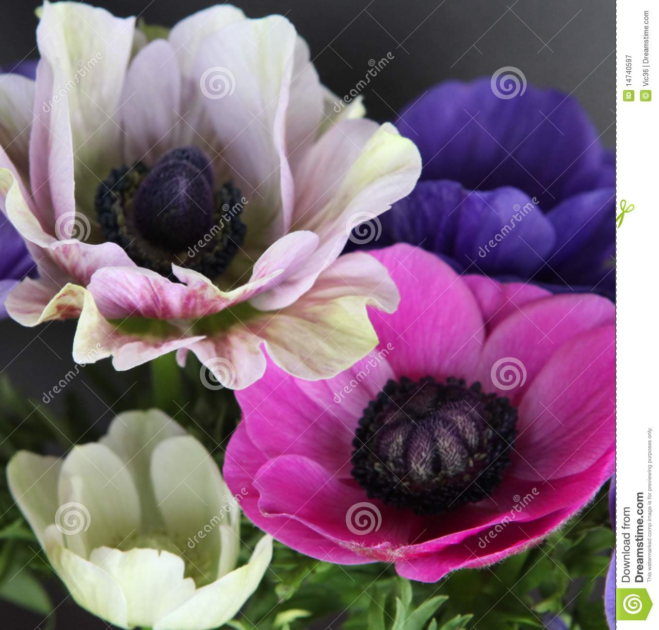 Colorful Poppy Flowers Stock Image Image Of Bloom Gentle 14740597