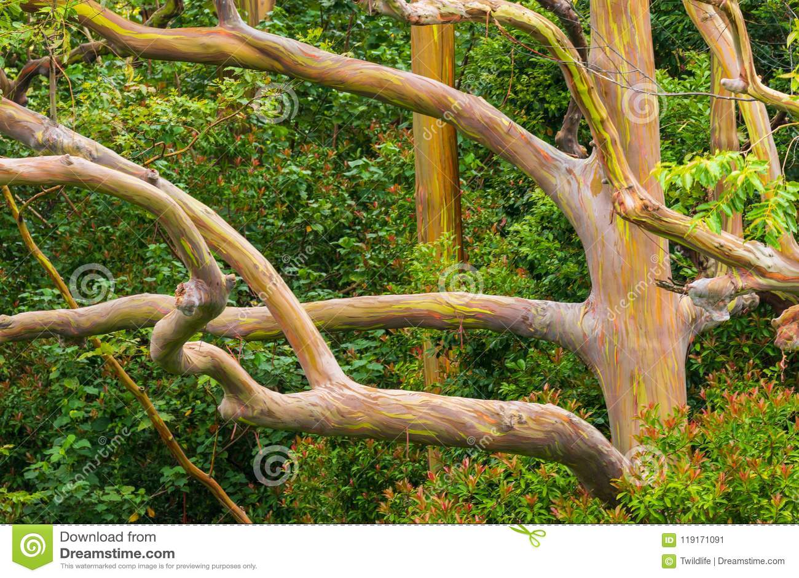 colorful rainbow eucalyptus tree on maui stock image image of