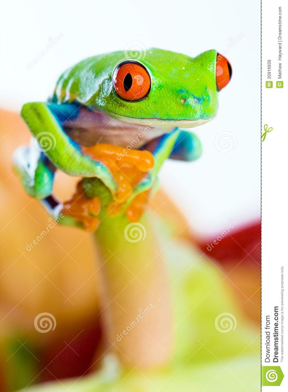 Colorful Red Eyed Tree Frog