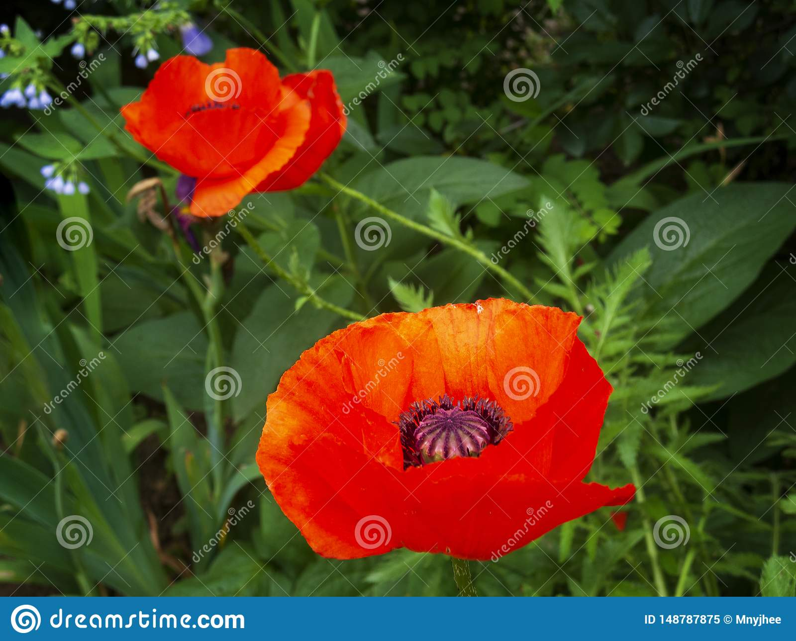 Colorful red poppies