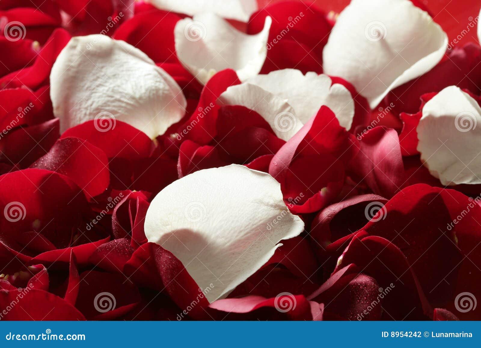 Colorful Rose Petal Pattern Wallpaper Texture Stock Photo