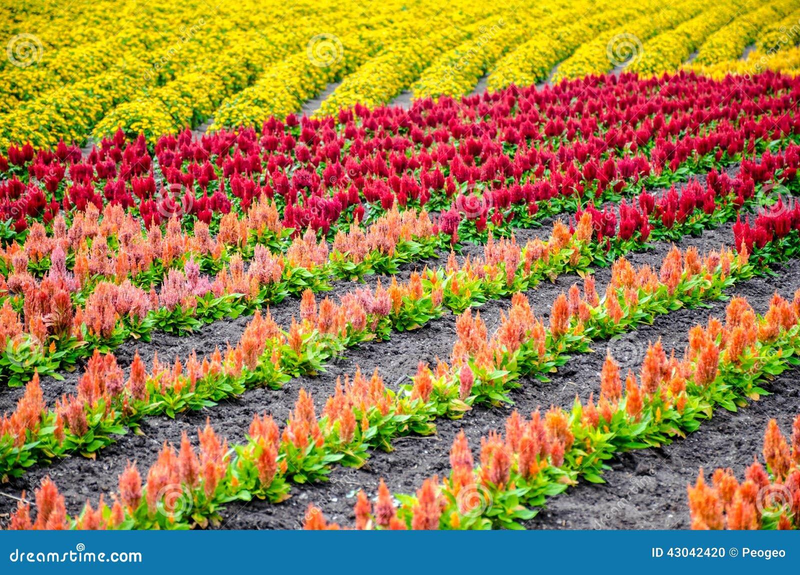 Row Flower Garden : Colorful rows of flower garden stock photo image