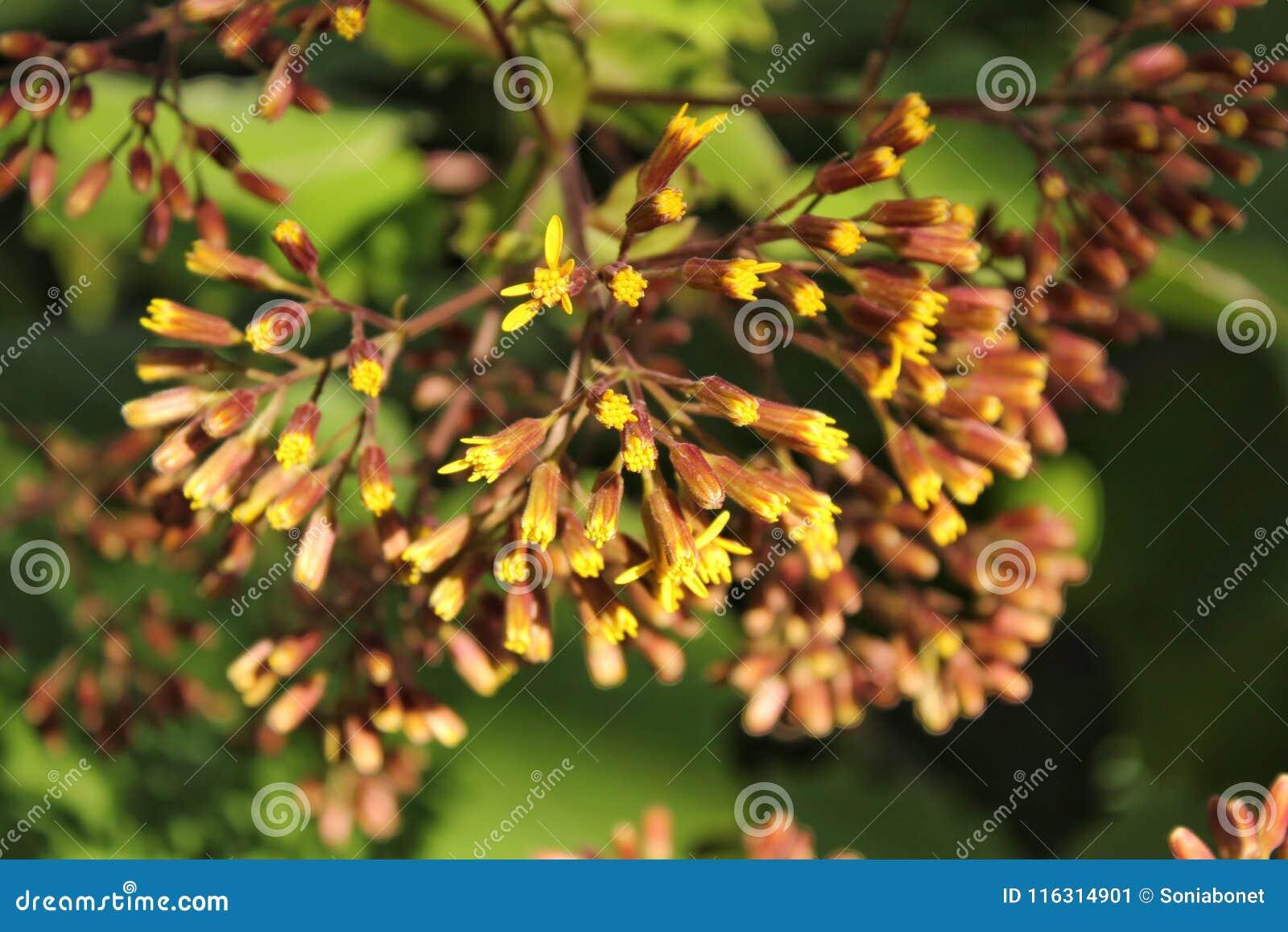 Colorful Senecio Petasitis Flowers In The Garden Stock Image - Image ...